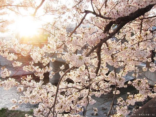 蘆屋-蘆屋川旁櫻花-3.JPG