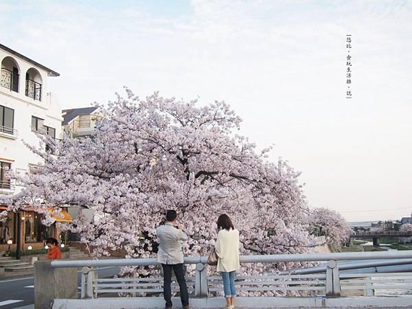 蘆屋-蘆屋川旁櫻花-8.JPG