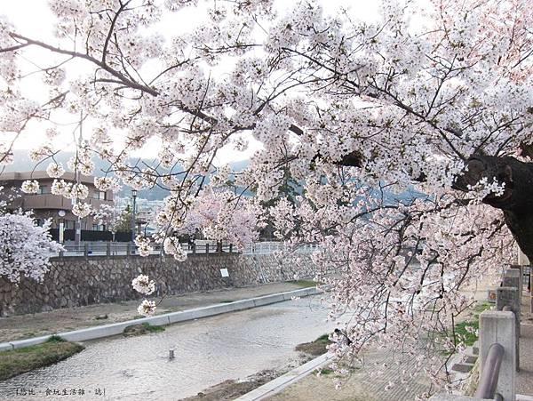 蘆屋-蘆屋川旁櫻花-7.JPG