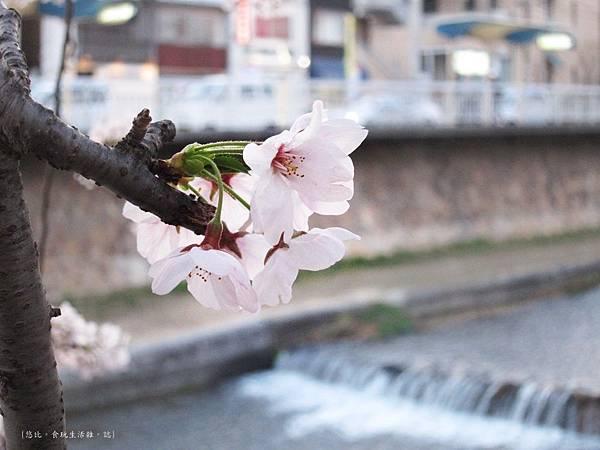 蘆屋-蘆屋川旁櫻花-9.JPG