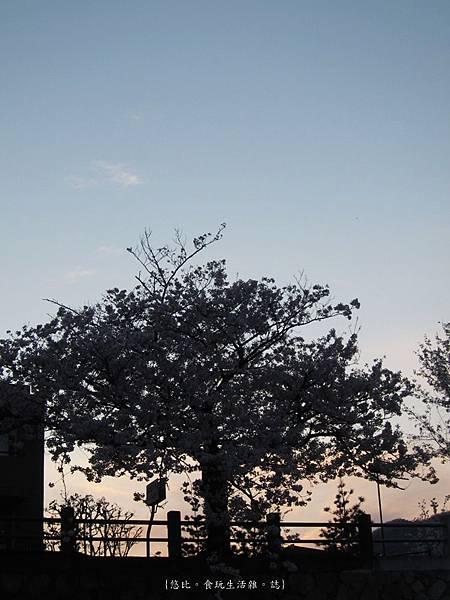 蘆屋-蘆屋川旁櫻花-12.JPG