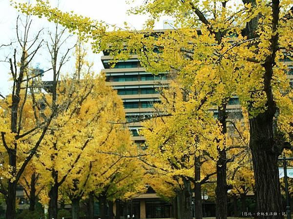 熊本-縣廳銀杏並木-4.JPG