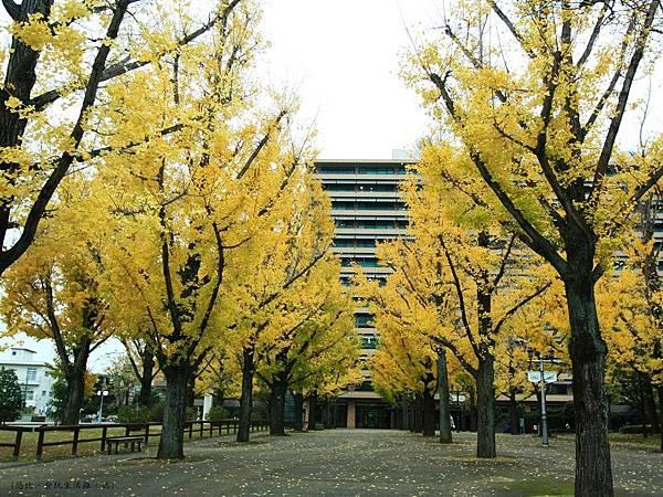 熊本-縣廳銀杏並木-5.JPG