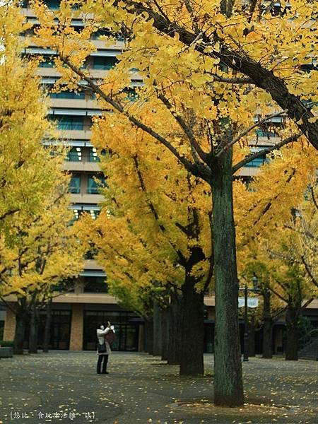 熊本-縣廳銀杏並木-6.JPG