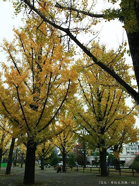 熊本-縣廳銀杏並木-9.JPG