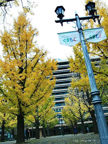 熊本-縣廳銀杏並木-11.JPG
