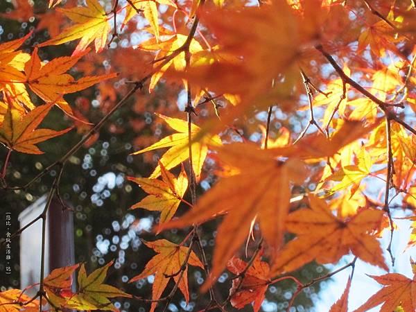 北野天滿宮-御土居-紅葉-3.JPG