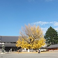 西本願寺-阿彌陀堂前銀杏-2.JPG