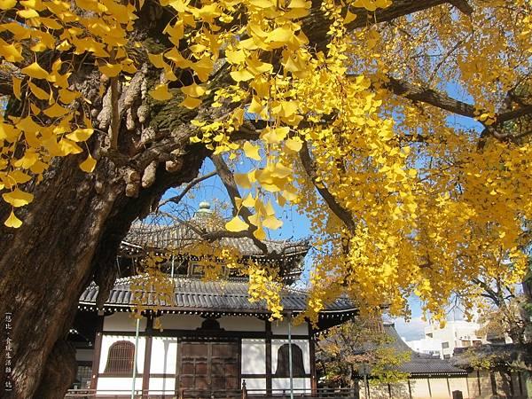 西本願寺-阿彌陀堂前銀杏-3.JPG
