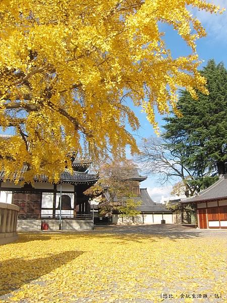 西本願寺-阿彌陀堂前銀杏-4.JPG
