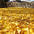 西本願寺-阿彌陀堂前銀杏地毯-2.JPG