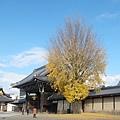 西本願寺-御影堂門銀杏-2.JPG