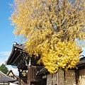 西本願寺-御影堂門銀杏-3.JPG