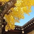 西本願寺-御影堂門銀杏-4.JPG