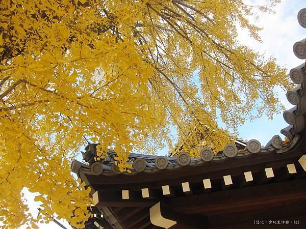 西本願寺-御影堂門銀杏-7.JPG