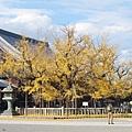 西本願寺-御影堂前大銀杏-2.JPG