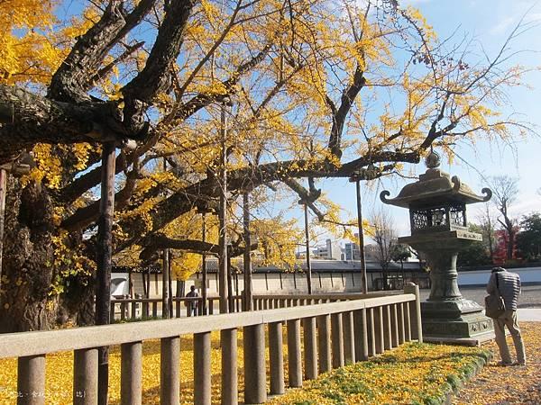 西本願寺-御影堂前大銀杏-3.JPG