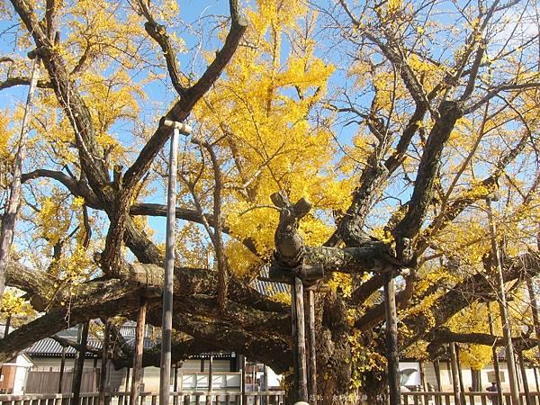 西本願寺-御影堂前大銀杏-4.JPG