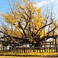 西本願寺-御影堂前大銀杏-5.JPG