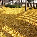 西本願寺-御影堂前銀杏地毯-1.JPG