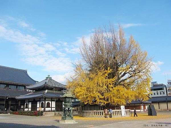 西本願寺-轉輪藏前銀杏-1.JPG