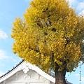 東本願寺-銀杏-2.JPG