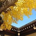 西本願寺-御影堂門銀杏-8