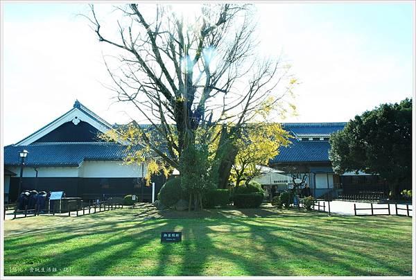 熊本城-大銀杏-1.JPG
