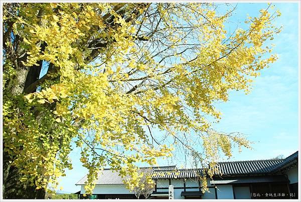 熊本城-大銀杏-8.JPG