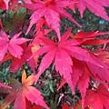 涉成園-紅葉-1.JPG