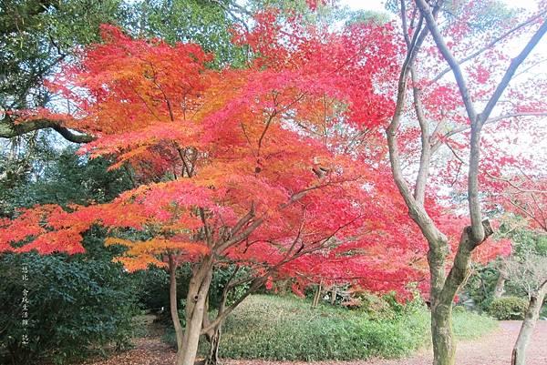 涉成園-楓樹-1.JPG