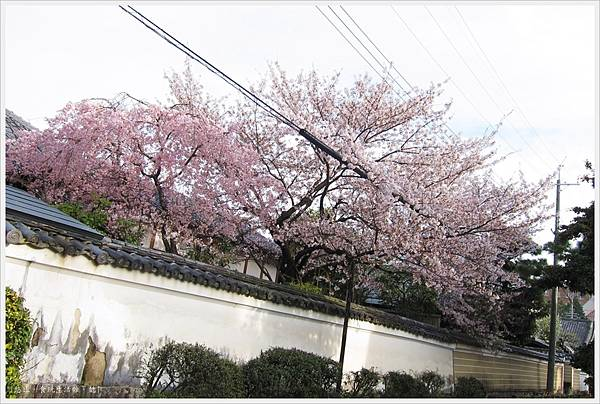 百萬遍-櫻花-2.JPG