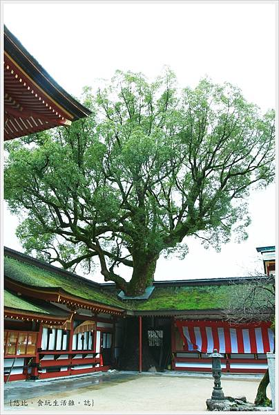 太宰府-穿頂樹.JPG