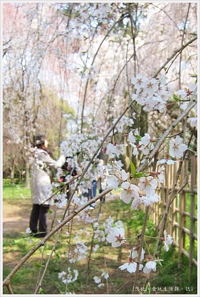 京都御苑-枝垂櫻-2.JPG