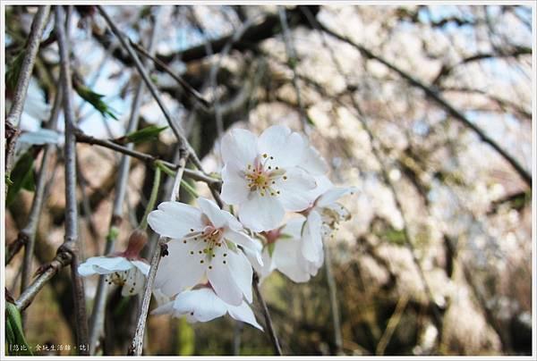 京都御苑-枝垂櫻-5.JPG