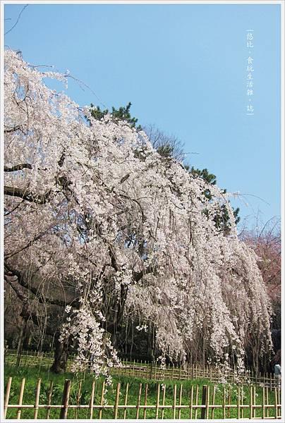 京都御苑-枝垂櫻-6.JPG