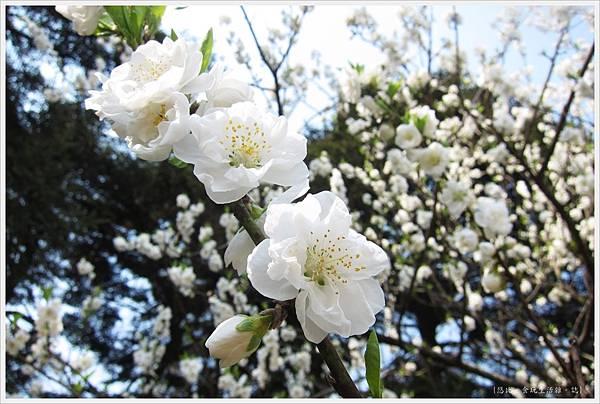 京都御苑-桃花-1.JPG