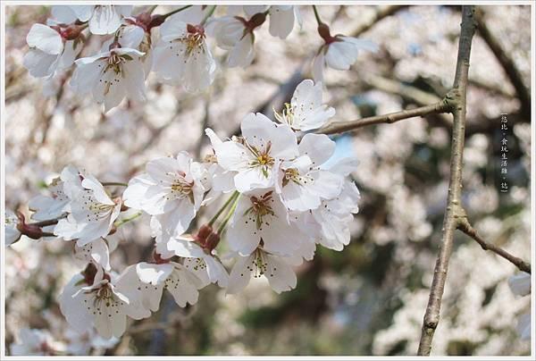 京都御苑-櫻花-1.JPG