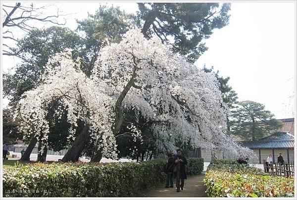 京都御苑-櫻花-4.JPG
