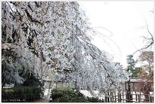 京都御苑-櫻花-5.JPG
