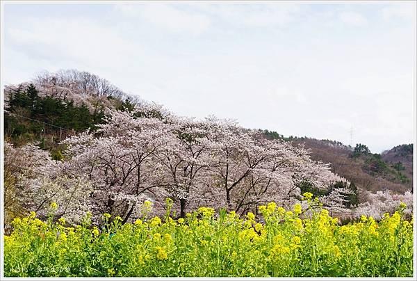 花見山-10.JPG