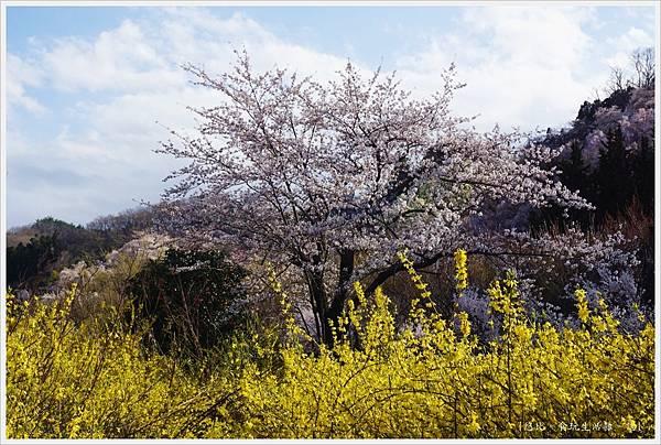 花見山-108.JPG
