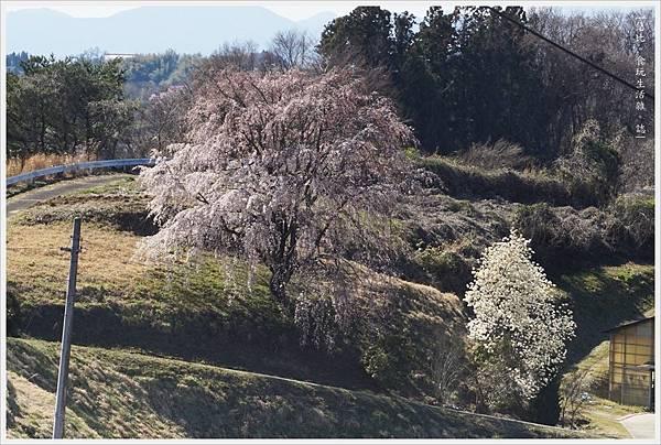 三春瀧櫻-67.JPG