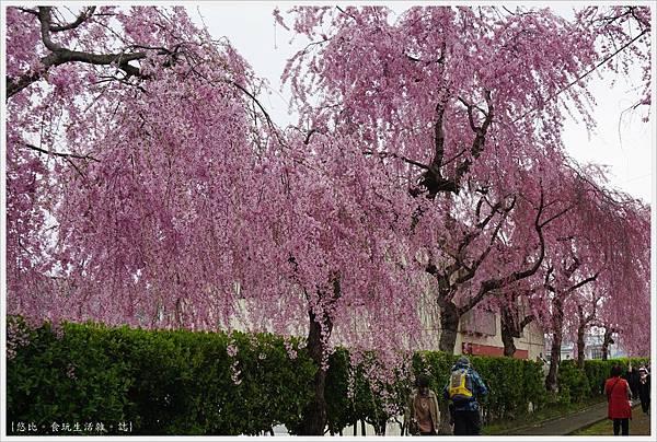 喜多方-17-舊日中線記念自行車步道枝垂櫻.JPG