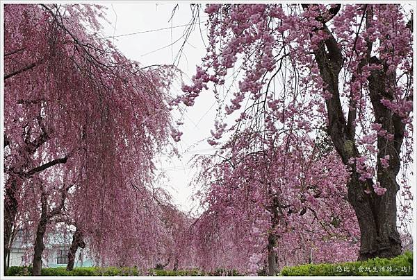 喜多方-16-舊日中線記念自行車步道枝垂櫻.JPG