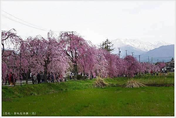 喜多方-26-舊日中線記念自行車步道枝垂櫻.JPG