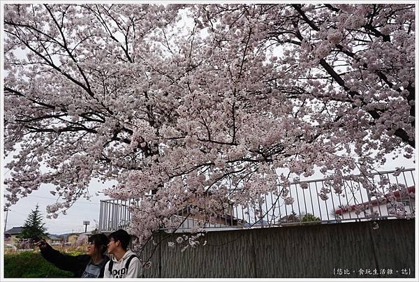 喜多方-56-舊日中線記念自行車步道枝垂櫻.JPG