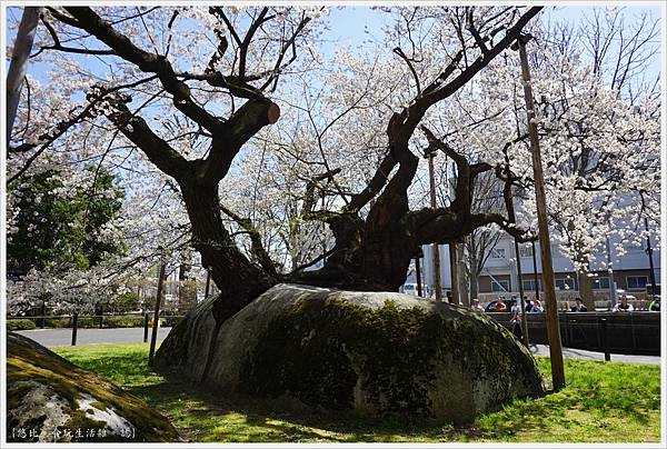 石割櫻-10.JPG