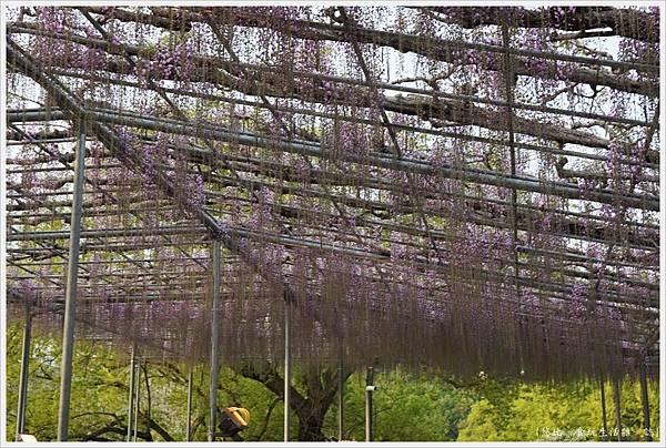 足利花卉公園-56.JPG
