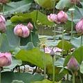 荷花lotus